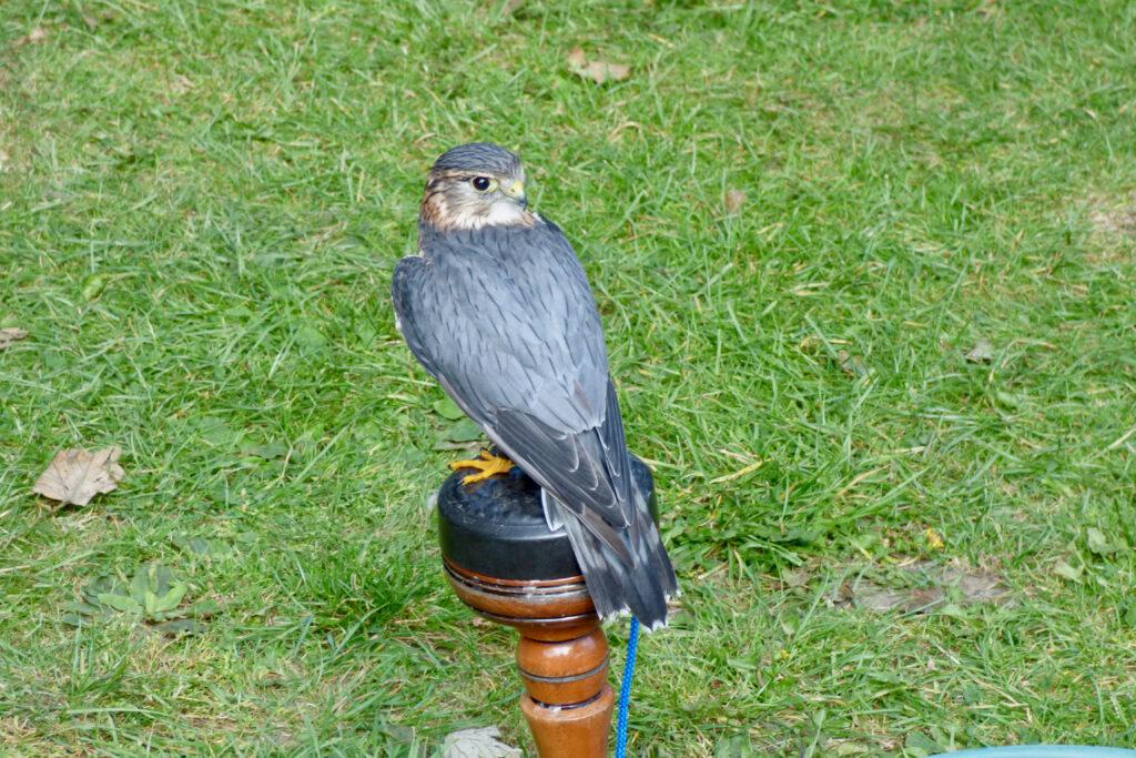 Bird of Prey (Merlin)