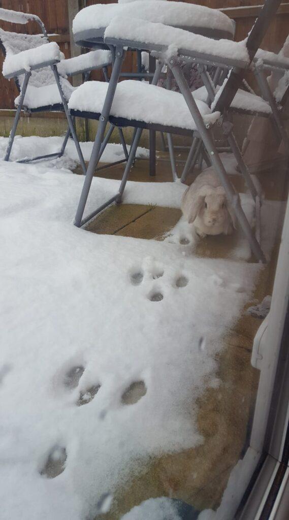 Snow 21 Rabbit Laura Hollings